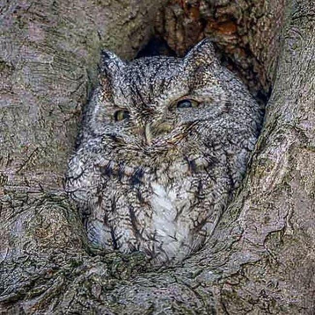 Almost didn't see this Owl . It blended in with the tree perfectly. Only_raptors Birdphotography Screechowl Camoflauge Raptor Birdsofprey Crazyeyes Planetbirds Outdooradventures Wildlife Ig_discover_wildlife Photoadventure TeamCanon 7dii Ig_discover_birdslife Bestbirdshots