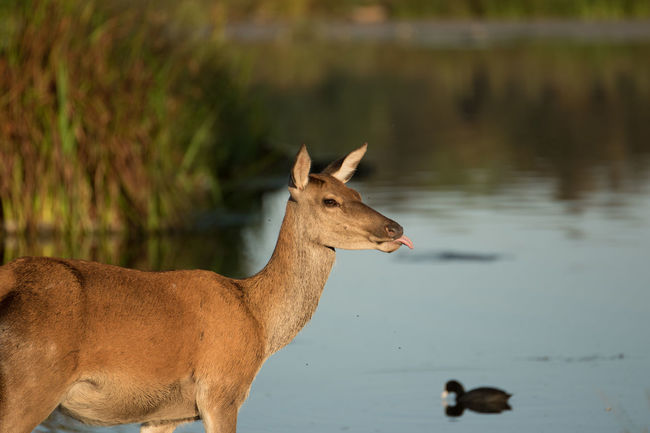 Animal Animal Themes Animals In The Wild Brown Bushy Park D Day Deer Domestic Animals Fallow Deer Focus On Foreground Herbivorous Hoofed Mammal Livestock London Mammal Nature No People One Animal Royal Parks Tongue Tranquility Water Wildlife Zoology