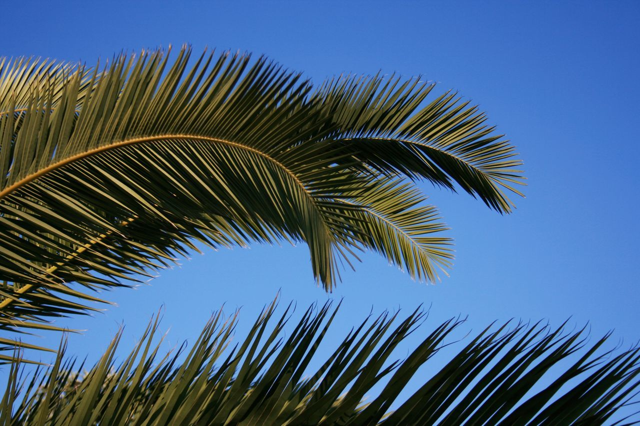 palm tree, clear sky, palm leaf, growth, nature, palm frond, low angle view, frond, day, blue, no people, leaf, close-up, tree, outdoors, beauty in nature, sky