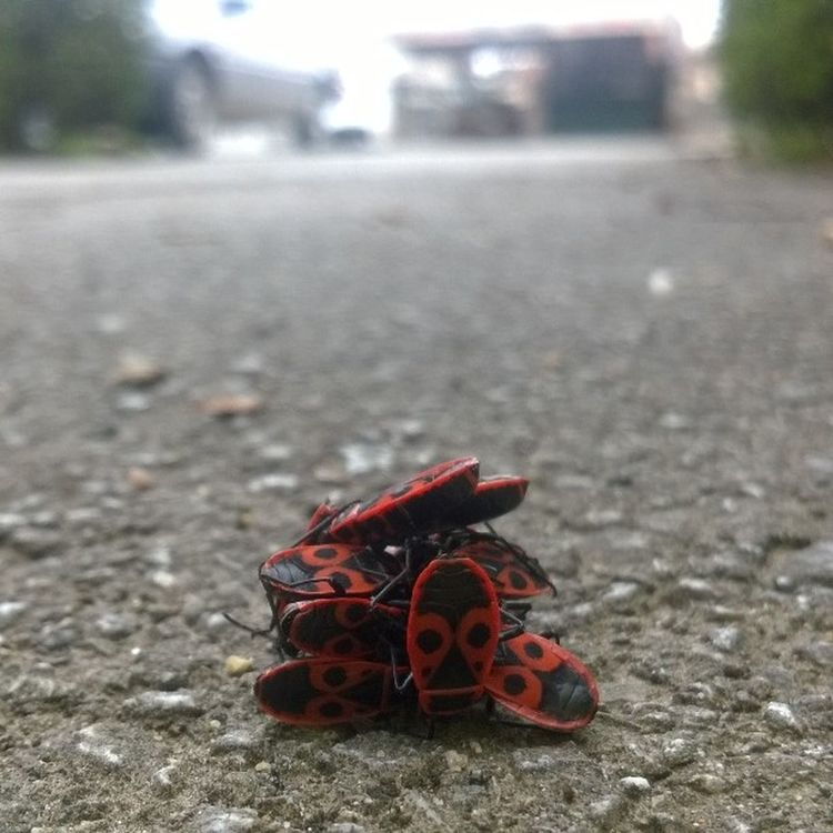 Photo Without Effects Firebugs Firebug Again Together Bug Family Proffesional Photo Proffesionalphoto Photographer Photooftheday On The Street Mother Nature Insect Insects