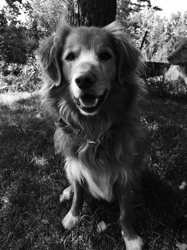 Pets Domestic Animals Looking At Camera Dog Animal Themes Portrait Mammal One Animal Grass Front View No People Day Tree Outdoors Nature Nova Scotia Duck Tolling Retriever
