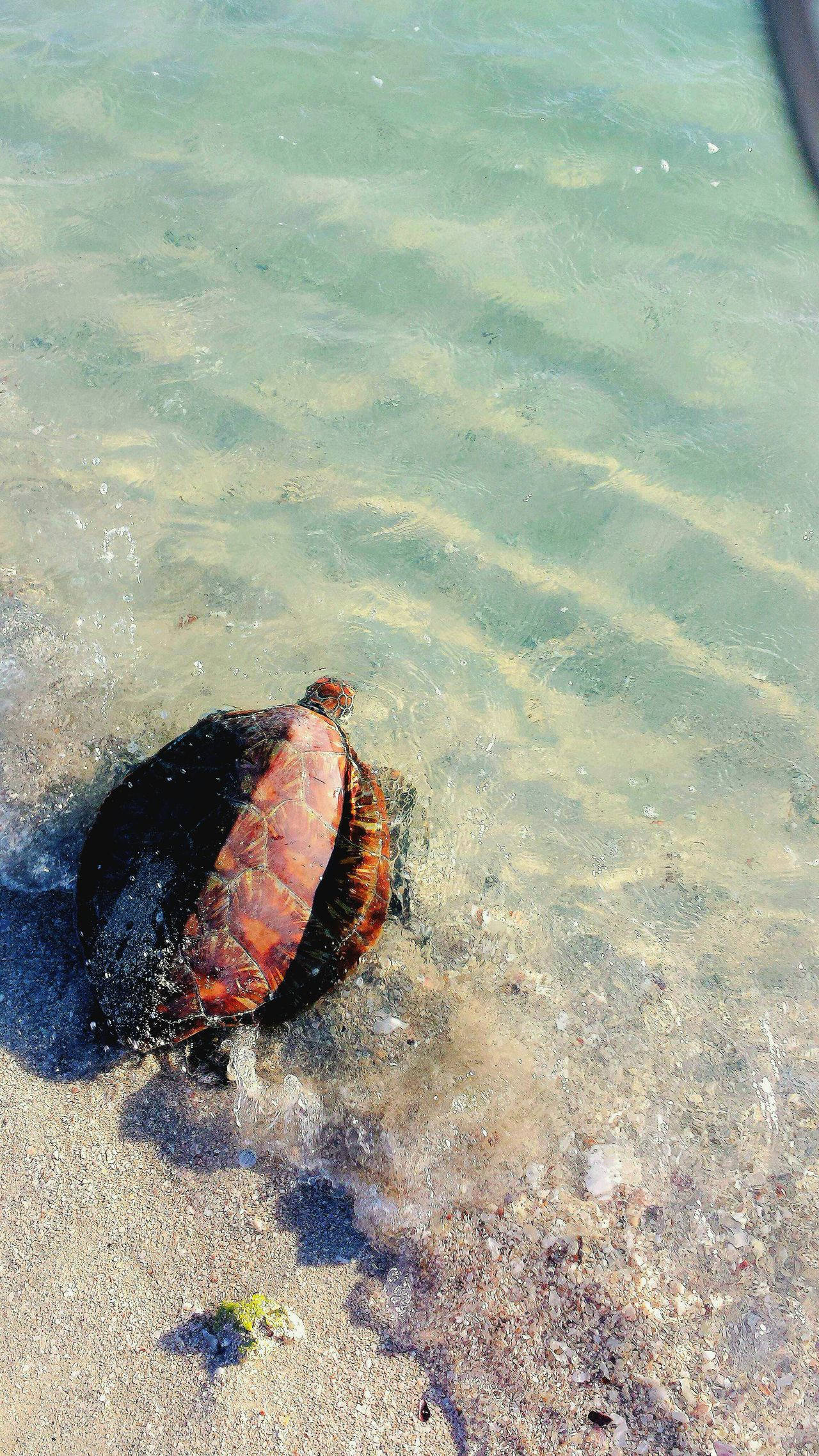 Hawksbill Turtle Turtle 🐢 Check This Out Taking Photos Great Barrier Reef Tropical Far North Queensland Beautiful Nature