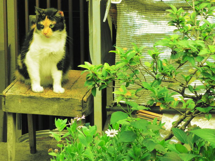 #Japanese Cat #summer #tokyo #boysfashion Cat Day Domestic Cat Feline Flower Front Or Back Yard Green Color Growth Leaf Mammal Nature No People Outdoors Pets Plant Potted Plant