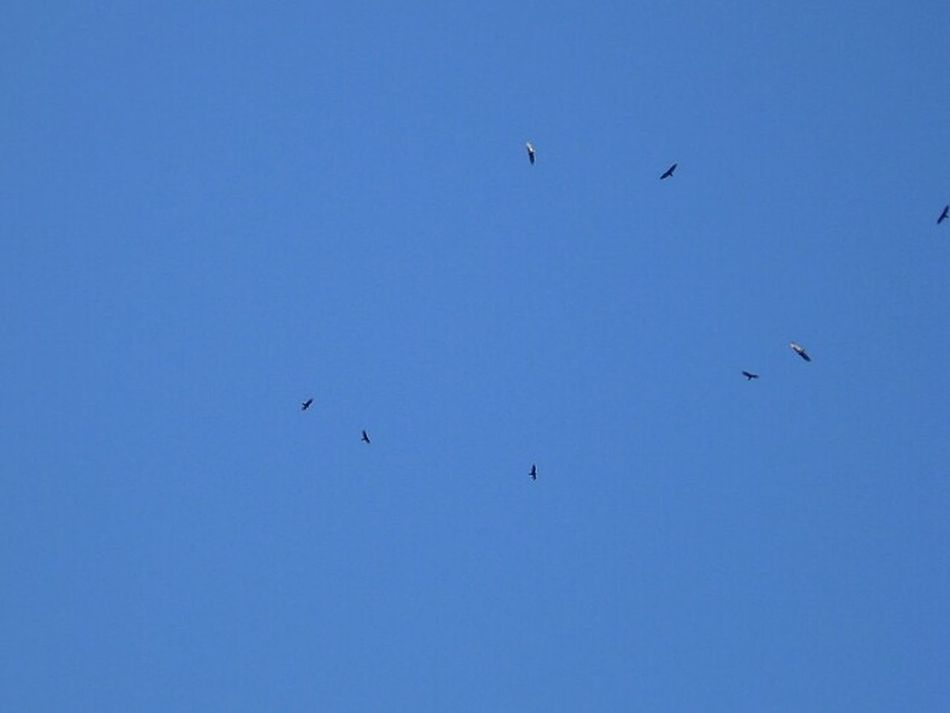 Birds Sky Circling Carrion Birds