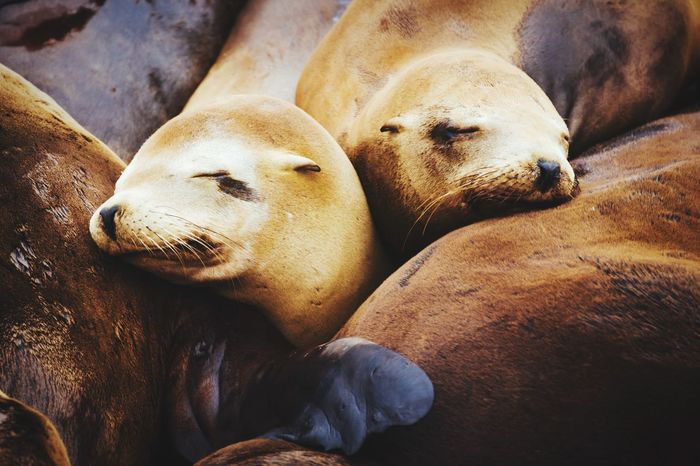 Siesta! Sea Lions Connected With Nature Animal Portrait The Portraitist - 2015 EyeEm Awards The Traveler - 2015 EyeEm Awards Getting Inspired Open Edit