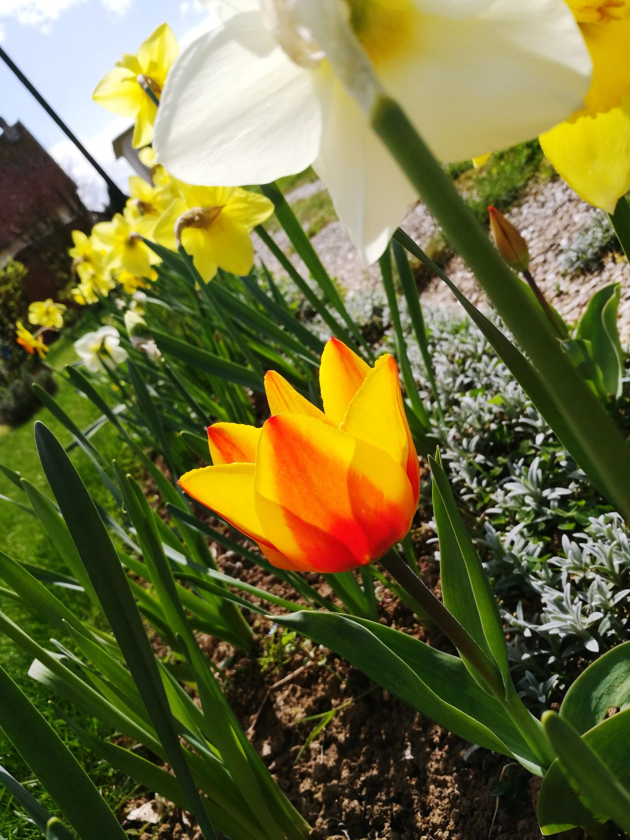 Tulipe Flower Nature Beauty In Nature Petal No People Outdoors Fragility Yellow Beauty In Nature