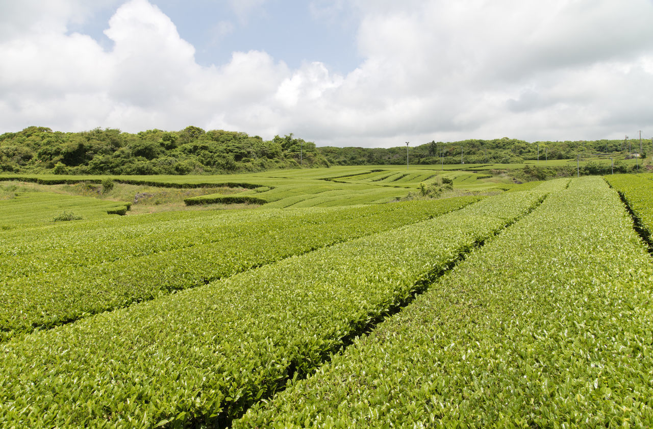 landscape of green tea field at Osulloc in Jeju Island, South Korea Agriculture Beauty In Nature Cloud - Sky Crop  Day Farm Field Freshness Green Color Green Tea Field Growth JEJU ISLAND  Landscape Nature No People Osulloc Outdoors Rural Scene Scenics Sky Tea Crop Tranquil Scene Tranquility Tree