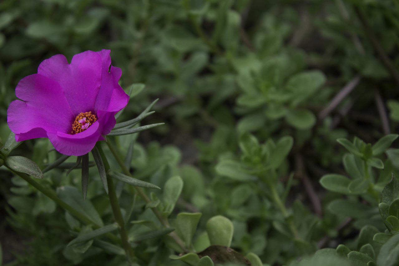 flower, petal, nature, beauty in nature, fragility, plant, growth, flower head, freshness, blooming, no people, outdoors, day, close-up