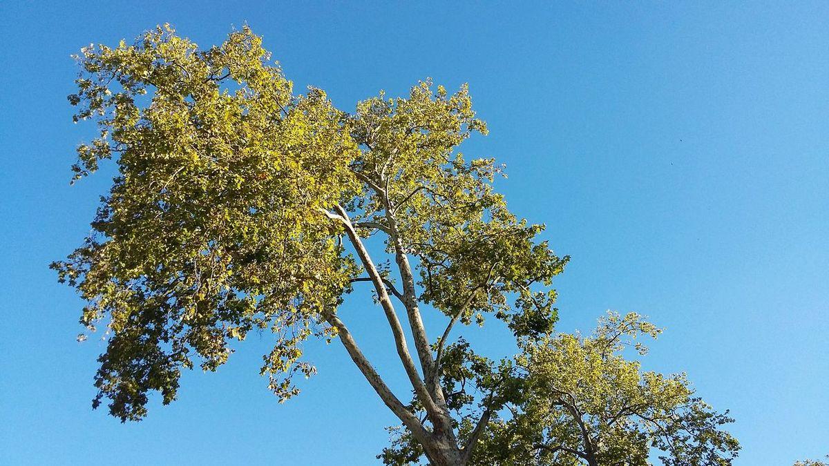 White Poplar Poplar Tree Portugal Torres Vedras Dusk