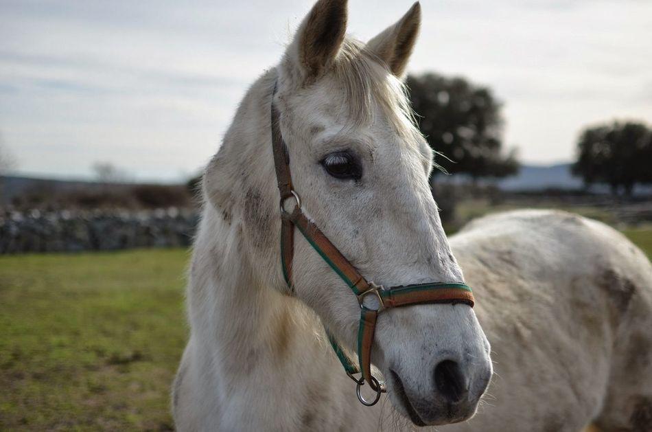 Beautiful stock photos of pferde, Animal Head, Animal Themes, Boalo, Close-Up