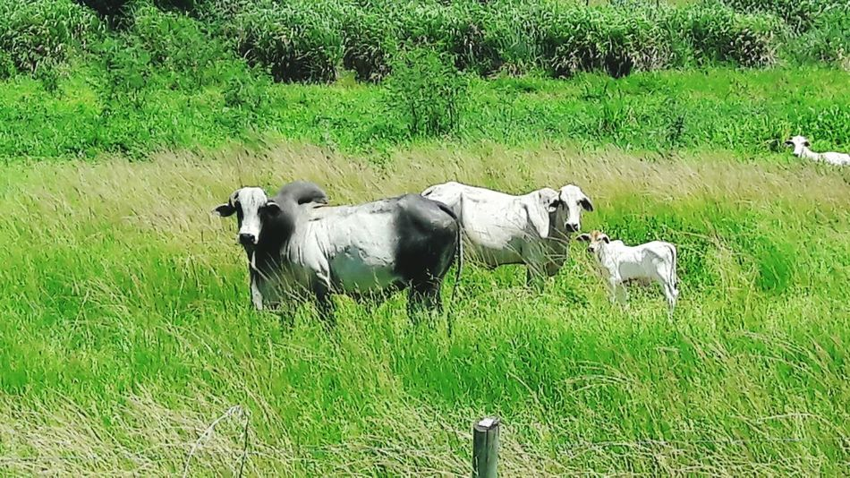 Nature Green Color Day No People Summertime Beauty In NatureGrass Animal Themes Backgrounds Bue Mucca Outdoors Domestic Animals Livestock Field Mammal