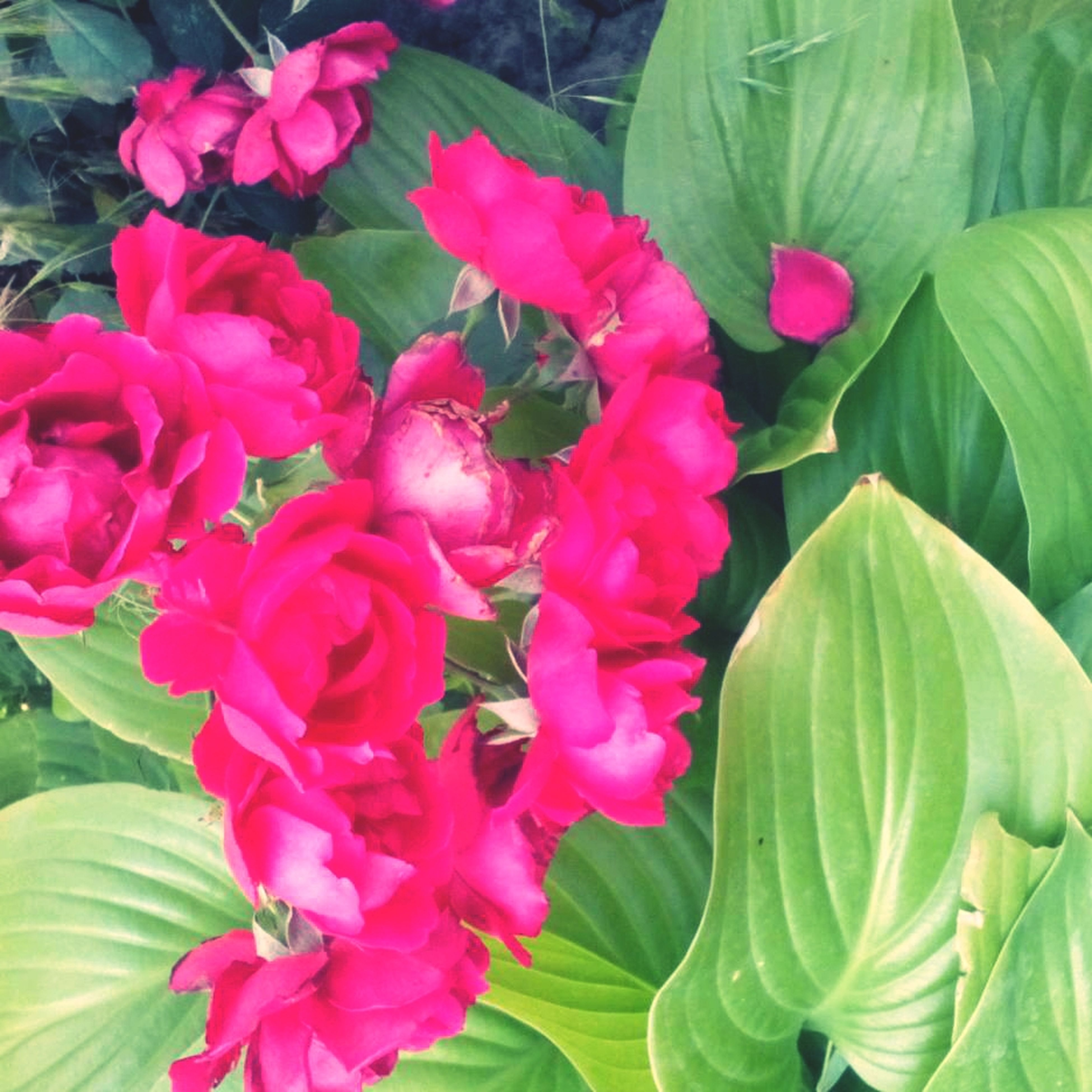 flower, freshness, growth, fragility, petal, leaf, beauty in nature, pink color, flower head, plant, nature, blooming, green color, close-up, in bloom, park - man made space, blossom, outdoors, pink, day