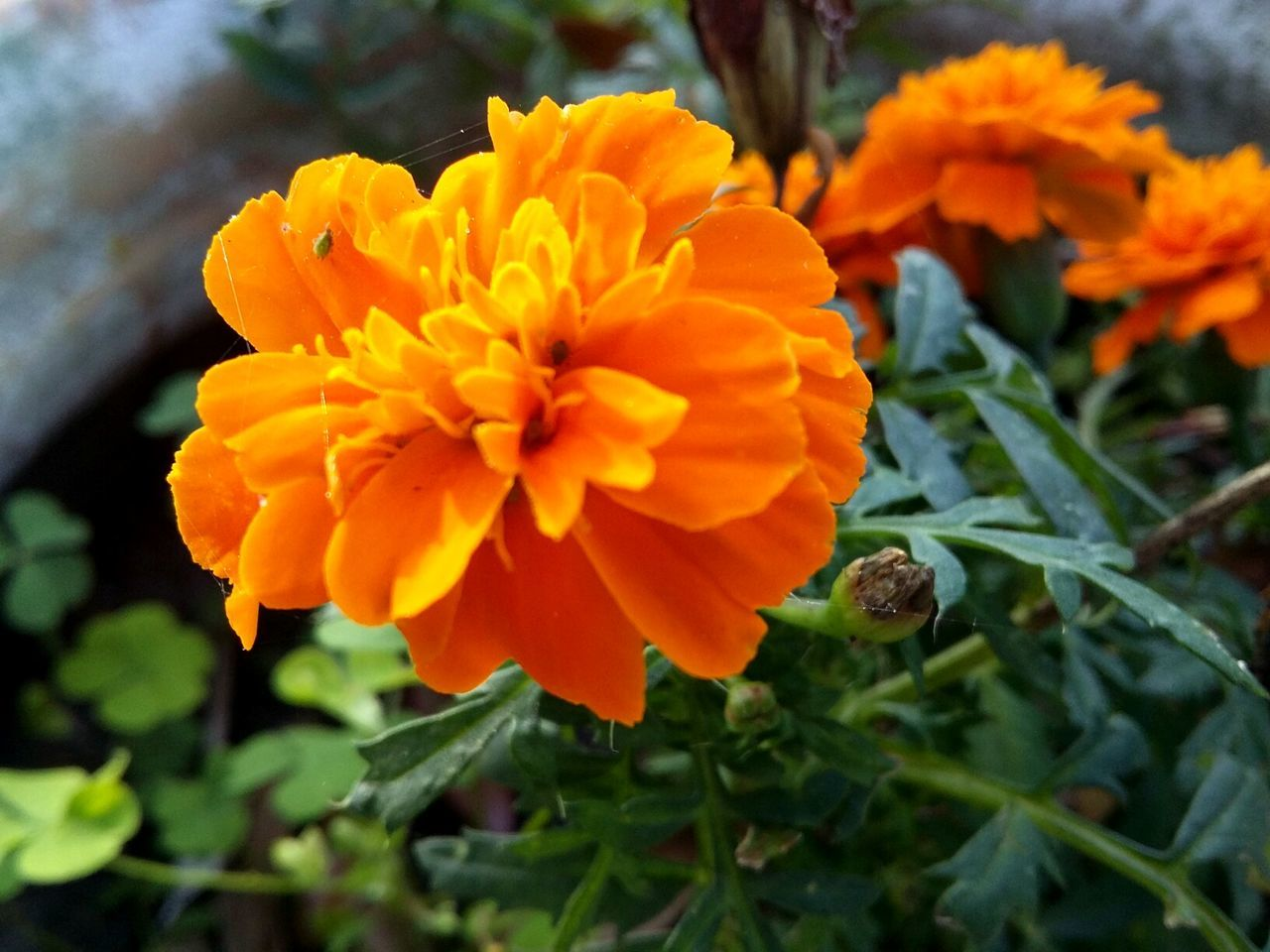 flower, beauty in nature, nature, fragility, growth, petal, freshness, flower head, orange color, plant, no people, blooming, outdoors, day, close-up, marigold
