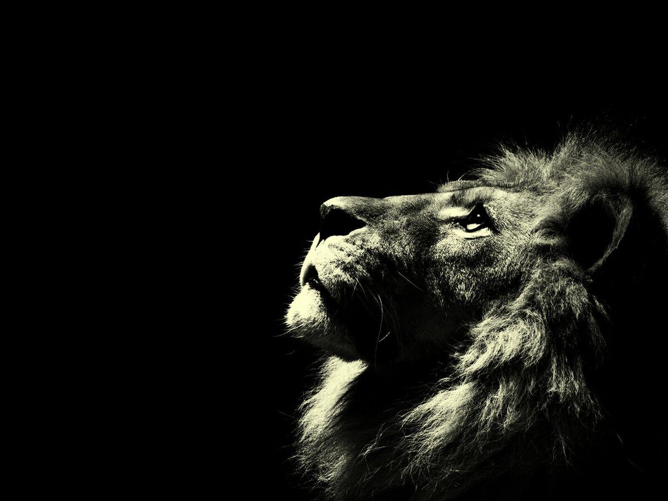 O Rei da selva* Leão Rei Selva