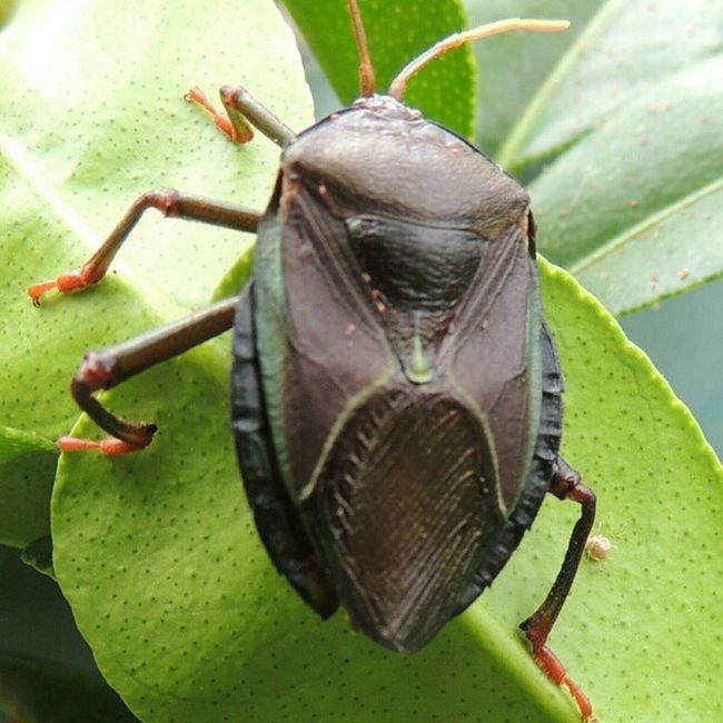Beetle wit smaller bug near back leg. Ig_captures Beetle Bug Petes2506 . Petersmith Nature Limetree Cool