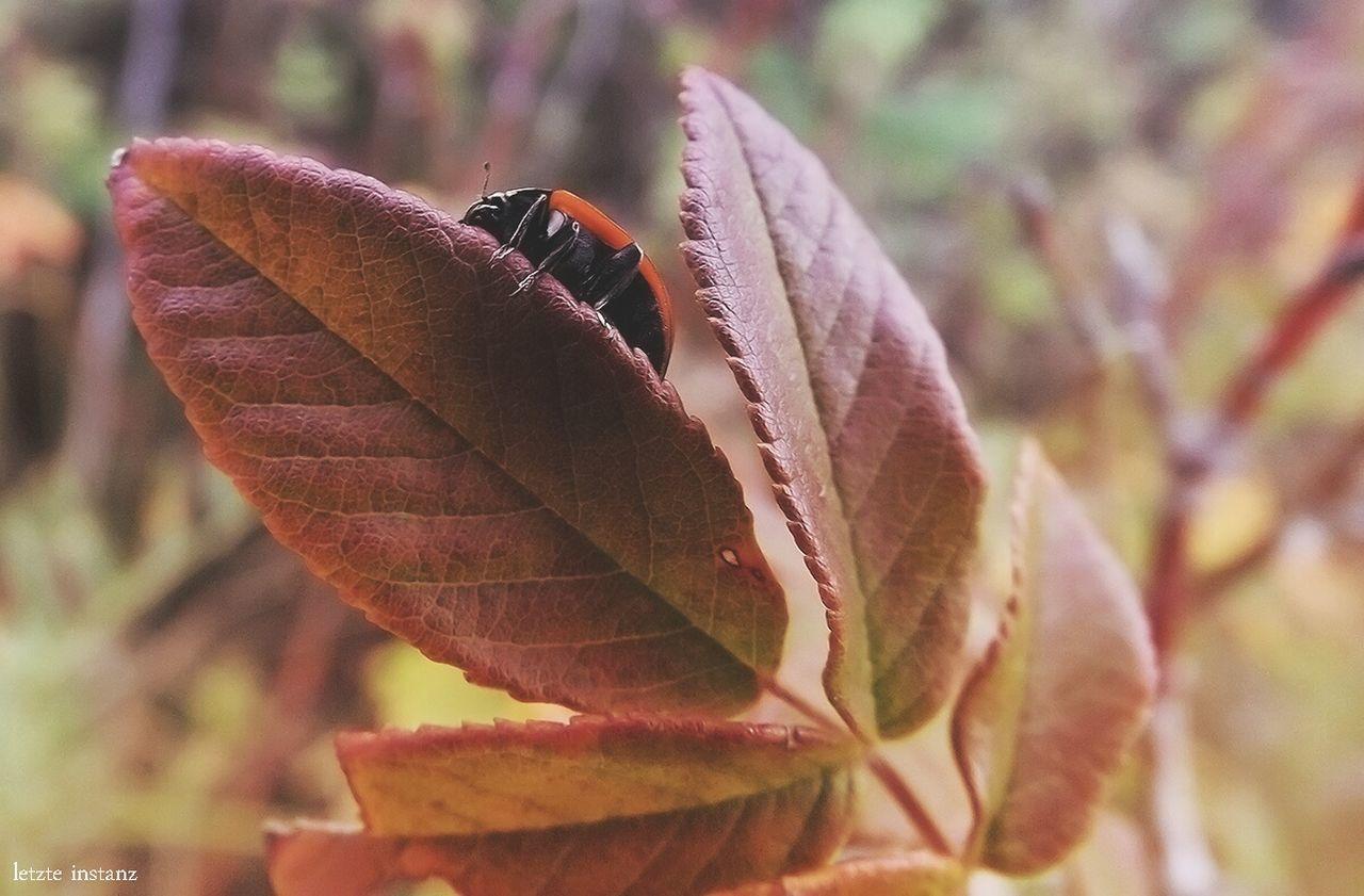 Забайкалье Transbaikalia Nature Plants 🌱 Macro Insect Ladybeetle Rosehip Leaves🌿