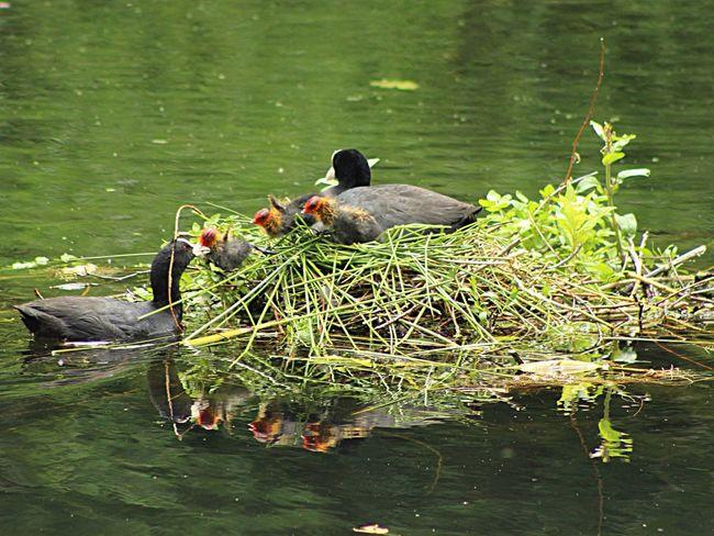 Coots Countryside Naturelovers Wildlife Nature_collection Wildlife Photography Bird Photography Birds Birds Of EyeEm  Springwatch