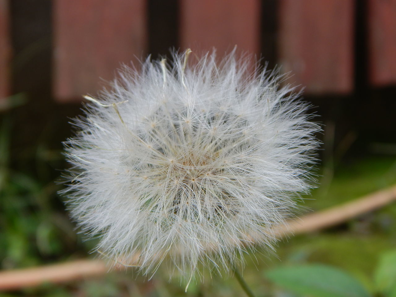 focus on foreground, flower, dandelion, close-up, fragility, nature, white color, beauty in nature, softness, growth, flower head, day, plant, no people, uncultivated, outdoors, freshness