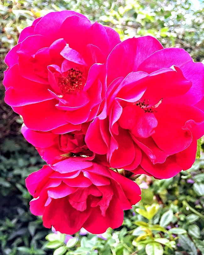 Pink Color Pink Flowers IPhoneography Sweden Check This Out Taking Photos Outside Showcase July Outside Photography Flowers, Nature And Beauty Flower Photography Flower Collection Flowers,Plants & Garden Flowers Flower Roses Rose🌹 Roses🌹