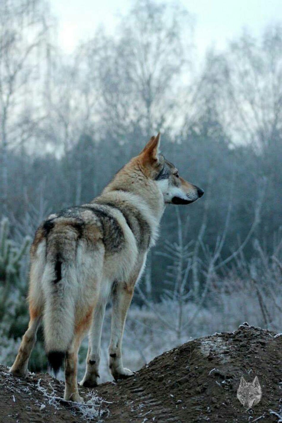 The EyeEm Facebook Cover Challenge Wolf BohunWolfdog Wolfdogs e EyeEm Masterclass Open Edit Eyem Best Shots EyeEm Mypet Myfriend?❄?❄?❄