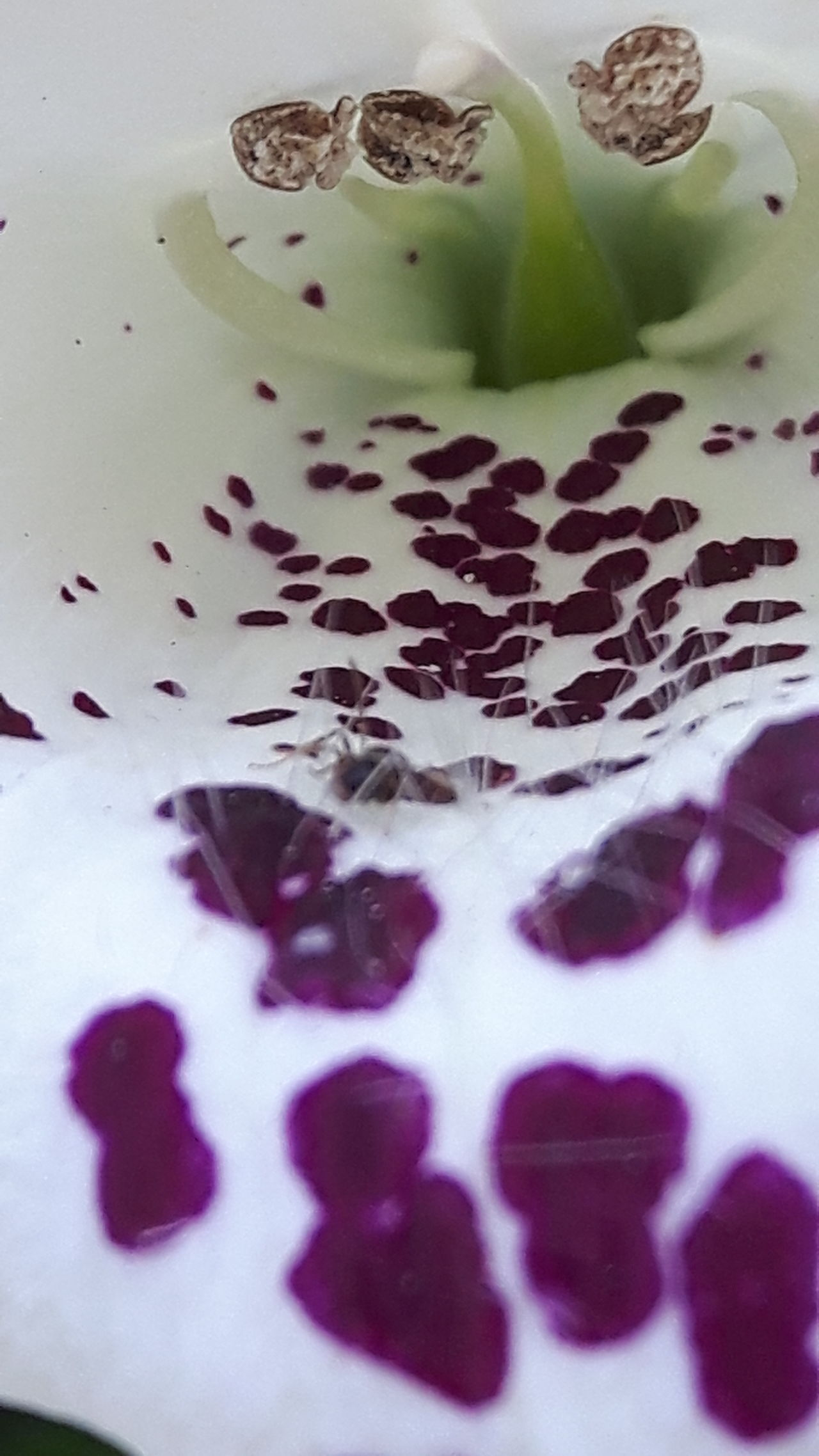 Inside a Foxglove bell, where lil ants dwell... Maximum Closeness Smartphone Photography No Edits No Filters Flowers, Nature And Beauty Macro_captures Macro_flower Beauty In Nature Floral Photography Flower Photography Love Flowers🌷💕 Macro Focus On Macro Beauty Macroshot Flowerlovers Flower Head Flowers In My Garden Flower Addict