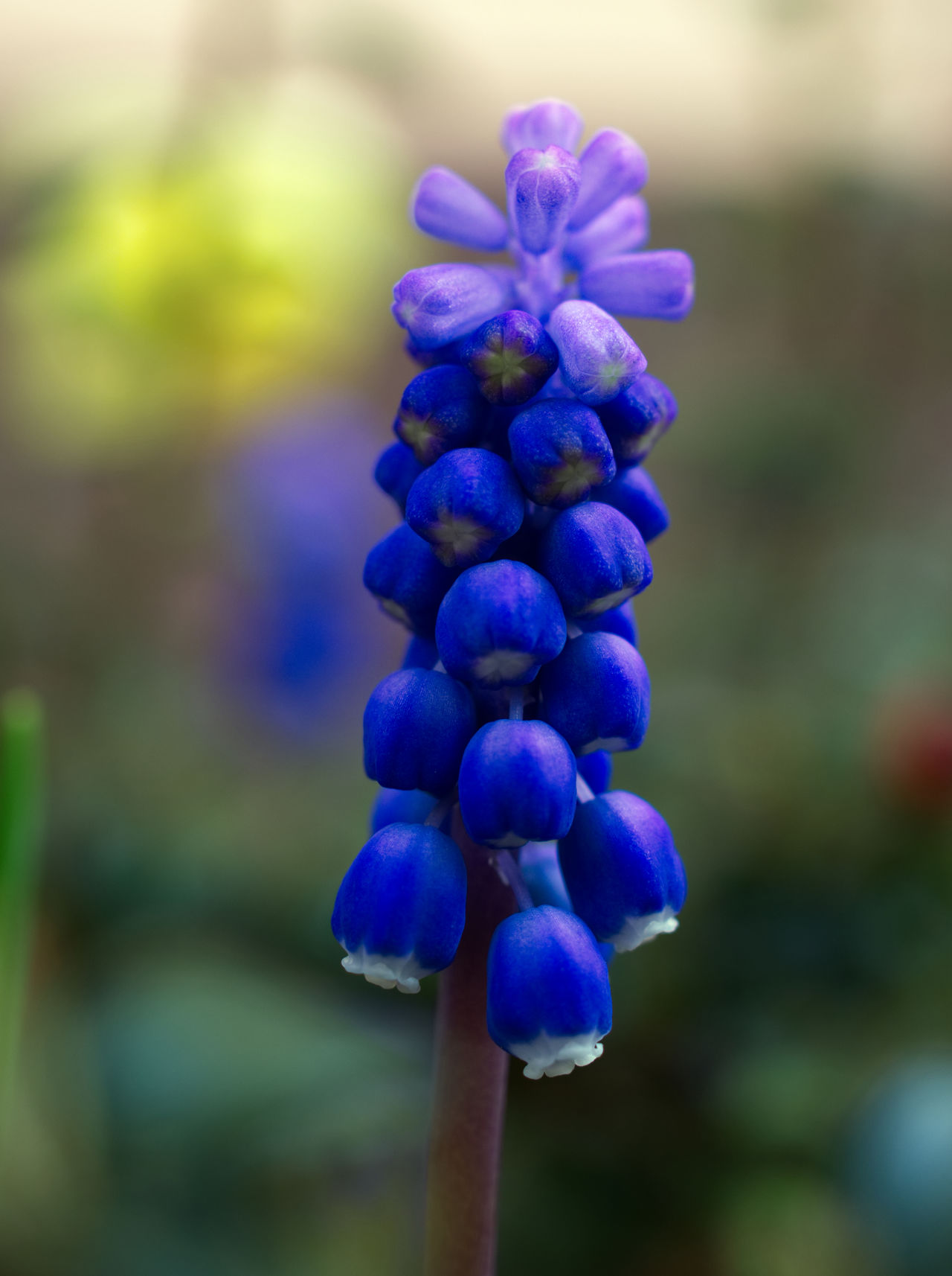 Beauty In Nature Blooming Blue Close-up Day Flower Flower Head Focus On Foreground Fragility Freshness Growth Hyacinth Nature No People Outdoors Plant Purple