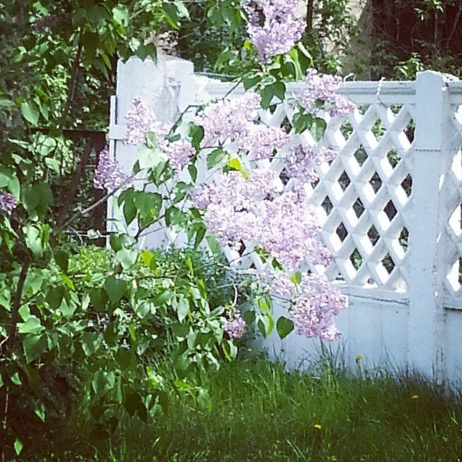 сирень ВИСТЕХ волжский Природа весна цветы растения Violence Plants Flowers Spring Nature Volzhskiy