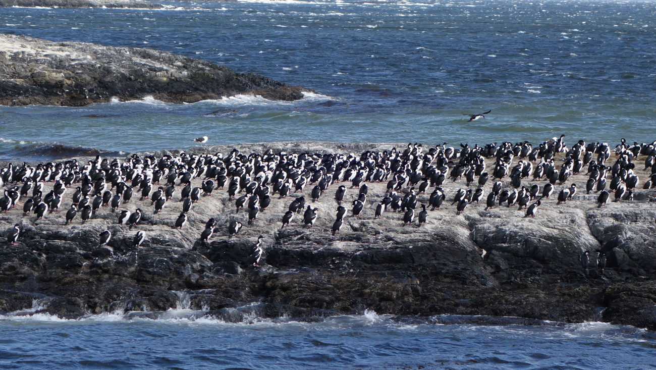 Penguins at the end of the world Animal Themes Animals In The Wild Argentina Nature Ocean Penguins Rock Formation Sea Ushuaïa Water