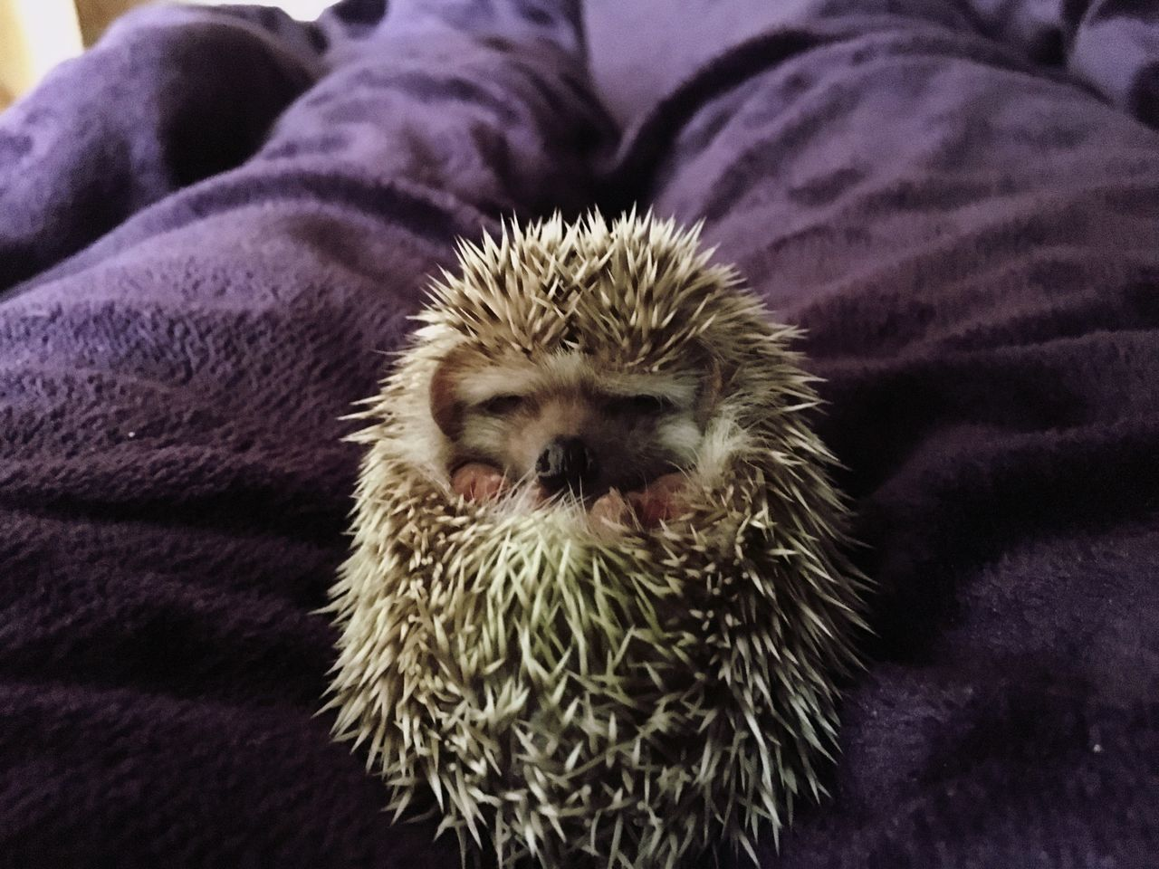 hedgehog, one animal, animal themes, mammal, indoors, close-up, pets, real people, animals in the wild, night, domestic animals