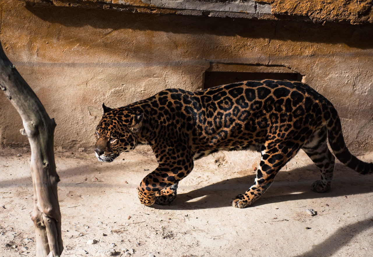 Jaguar Animal Animal Themes Animals In The Wild Carnivore Cat Dangerous Animals Day Endangered Animals Hunter JAGUAR Leopard Mammal No People One Animal Outdoors Outside Predator Safari Animals Safari Park SPAIN Undomesticated Walking Wild Wildlife Zoo