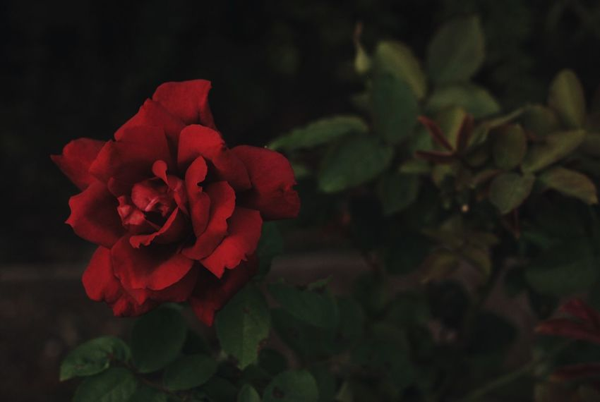 Flowers Flower Rosé Roses