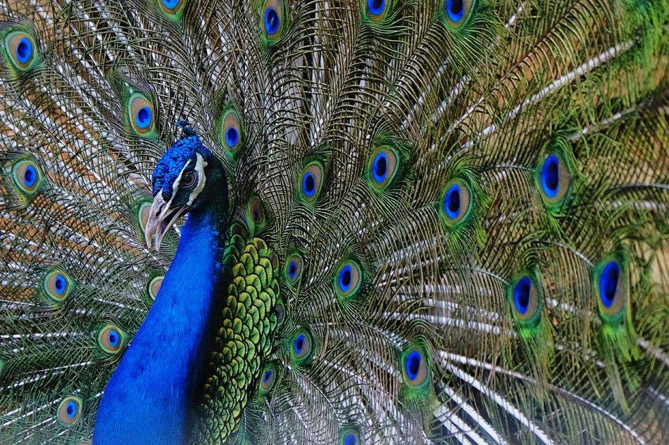 Peacock Birds Of EyeEm  Birds_collection Bird Photography Bird Peacock Peacock Blue Beauty Bird Beauty Beautiful Colors