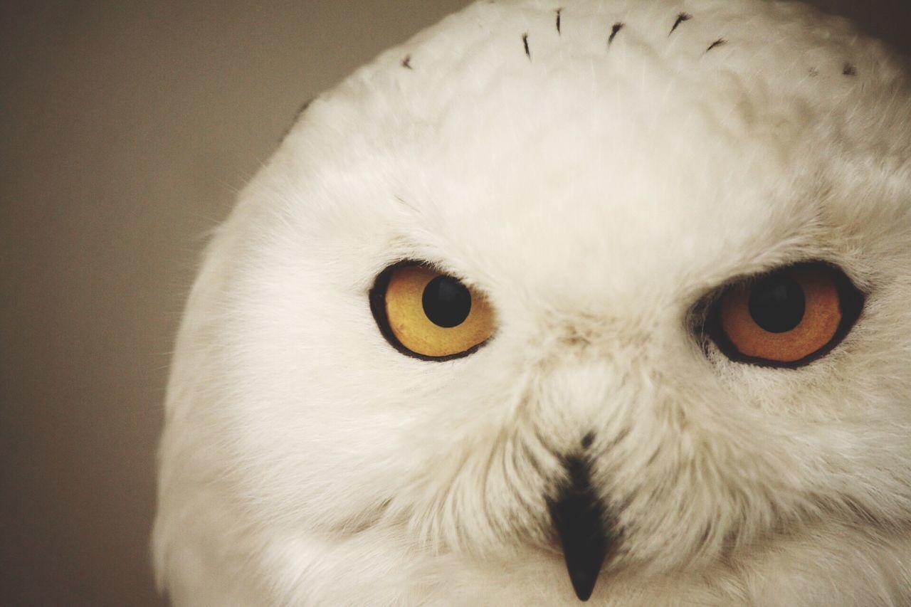 Beautiful stock photos of owl, Animal Eye, Animal Themes, Animal Wildlife, Animals In The Wild