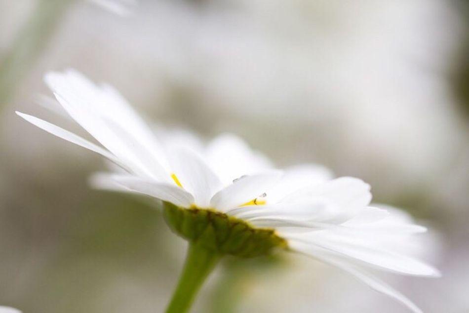 Oops a daisy Summer Daisies Flowers Canonphotography EyeEm Best Shots - Nature EyeEm Best Shots Garden Flower This Week On Eyeem Fine Art Photography Showcase:July