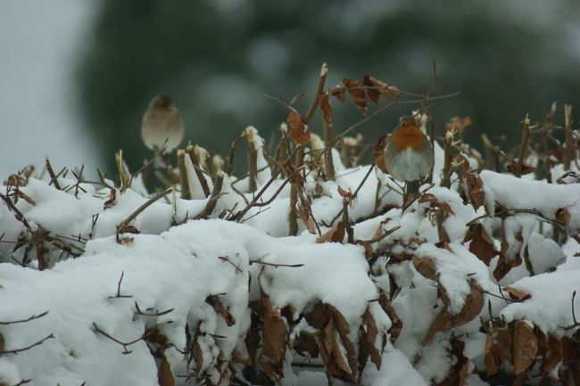 Beauty In Nature Close-up Cold Temperature Day Nature No People Outdoors Robin Snow Weather White Color Winter