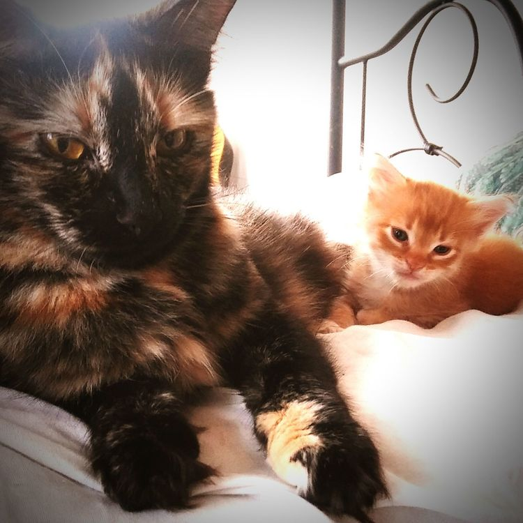 Mama Olivia and her Lil miracle Peanut💋💕💋💕💋😻😻💕💋 Pets Mammal Domestic Animals Animal Themes Domestic Cat Indoors  Looking At Camera Bed Relaxation Feline Cat Young Animal Whiskers Indoors  Gingercat Gingercatsofinstagram Tranquility Tortoiseshell Kitten Tortoiseshellcatsofinstagram Tortoiseshell Ginger Kittens Ginger Kitten Mama's And Baby Heart ❤