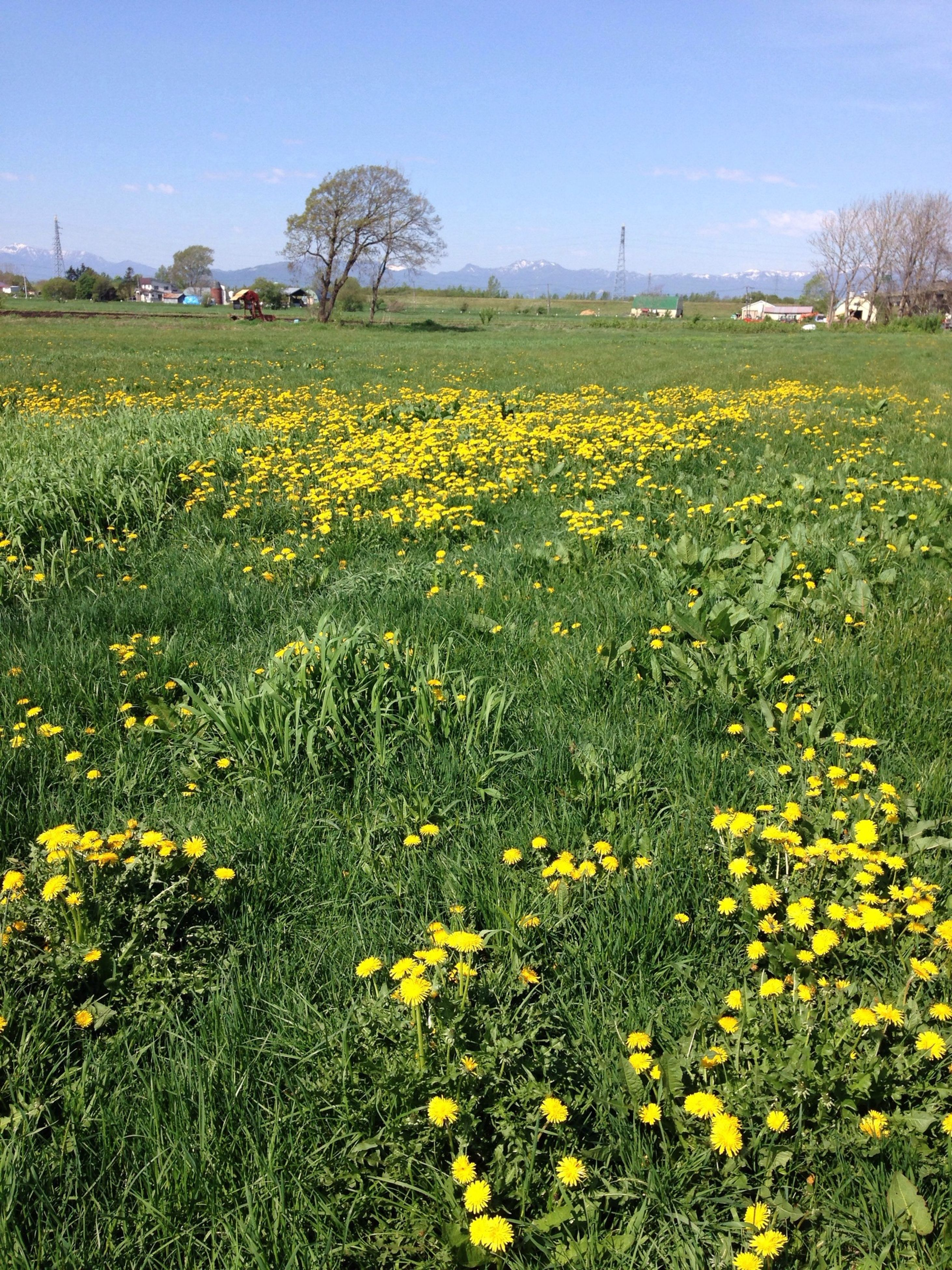 flower, yellow, field, freshness, growth, beauty in nature, fragility, rural scene, nature, landscape, agriculture, clear sky, tranquil scene, blooming, plant, tranquility, blossom, abundance, in bloom, scenics