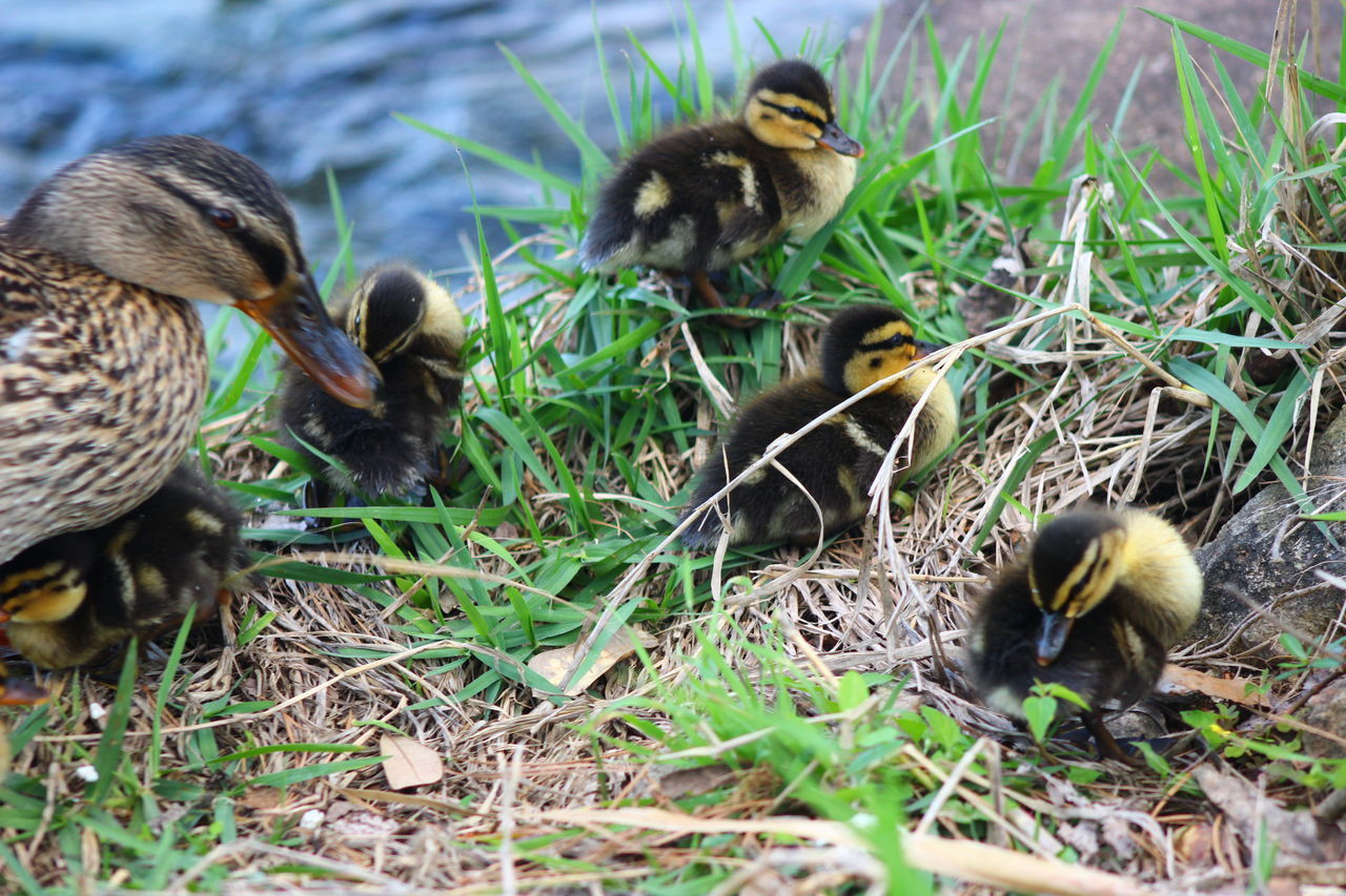 Animal Themes Animal Wildlife Animals In The Wild Bird Bird Nest Close-up Day Duckling Five Animals Grass Growth Mammal Nature No People Outdoors Water Young Animal Young Bird Water Bird Ducklings Canonphotography Popular Photos Lake Babies Togetherness