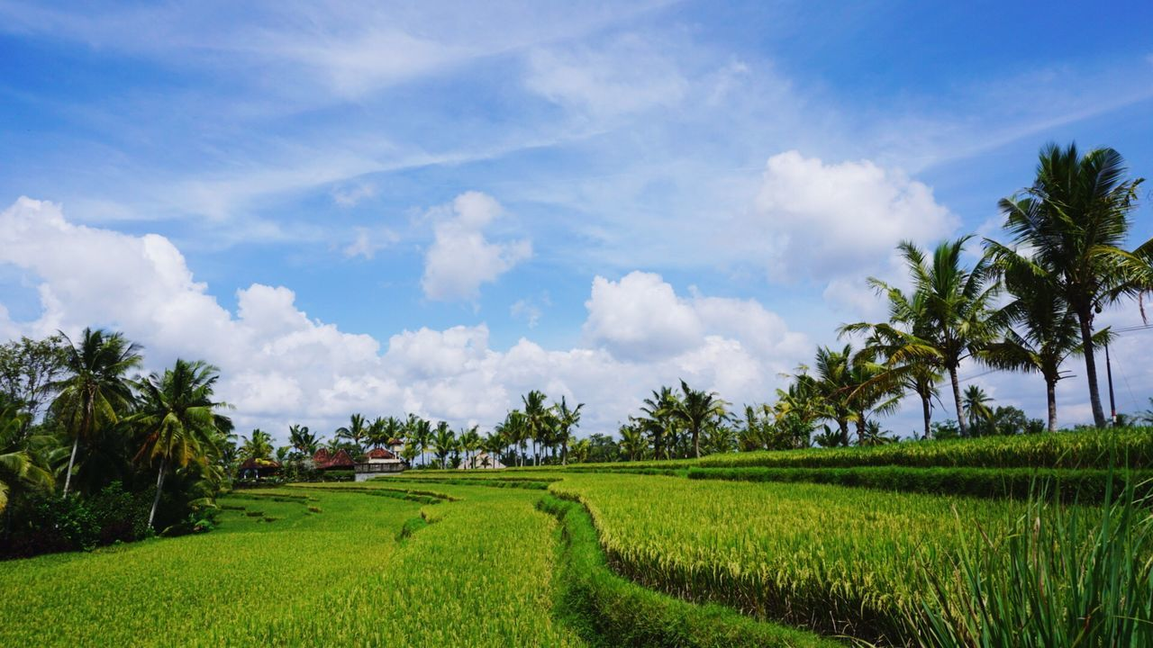 Green Fresh Agriculture Coconut Trees Sky And Clouds Outdoor Photography Rice Terraces Rice Paddy Travel Destinations Travel Photography Ubud Bali Neighborhood Map