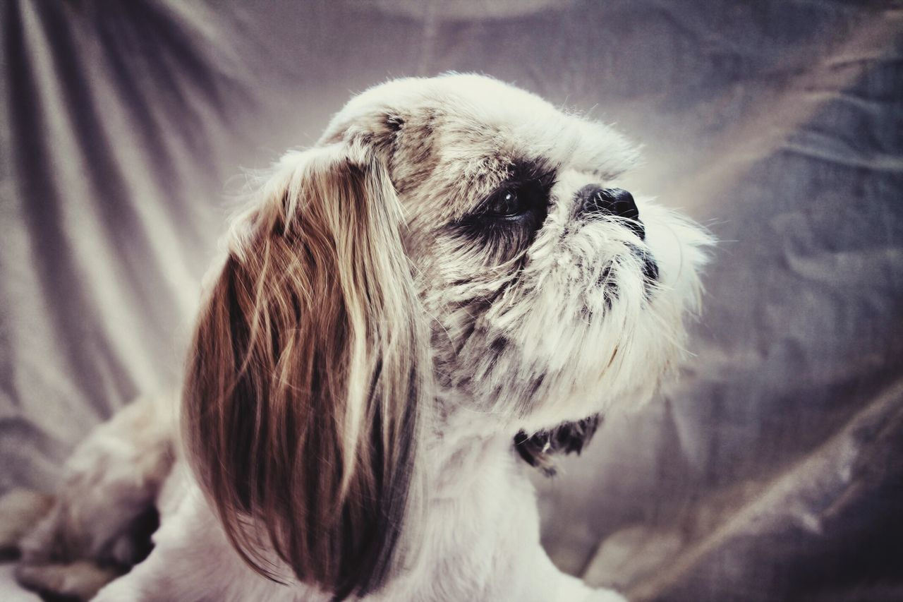 one animal, pets, domestic animals, dog, animal themes, indoors, mammal, close-up, no people, day