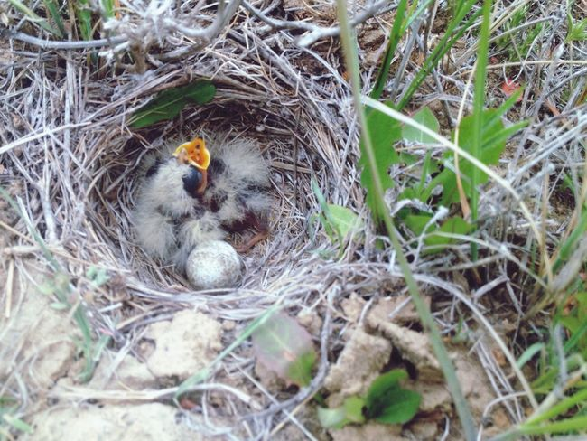 Two hungry baby birds and an unhatched egg in a ground nest. Baby Bird Bird Egg Bird Nest Wildlife Wildlife & Nature