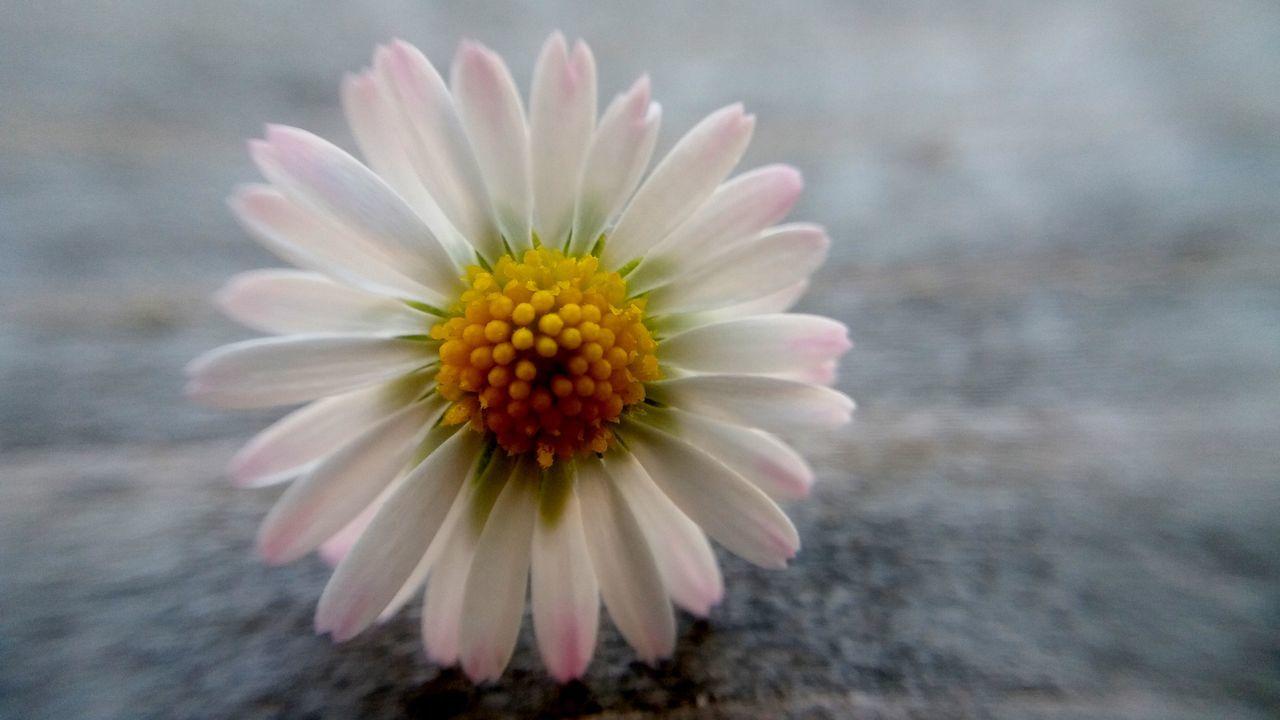 Bellis Perennis Flower Flower Head Marguerite Paquerettes Petal Petals Petals🌸 Yellow BYOPaper! Samsung J5 Samsung Samsungphotography Fragility