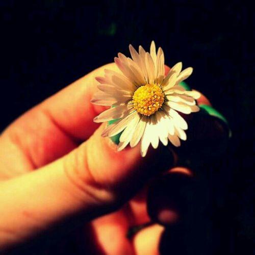 Blumen Gänseblümchen