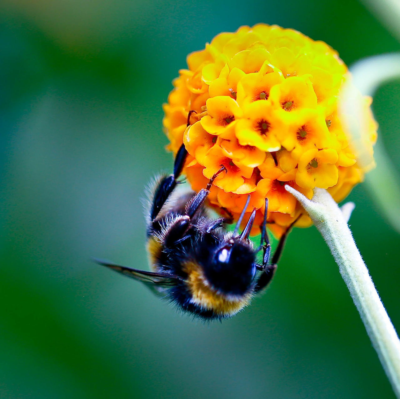 Extreme Close-Up Of Honey Bee Pollinating On Yellow Flower