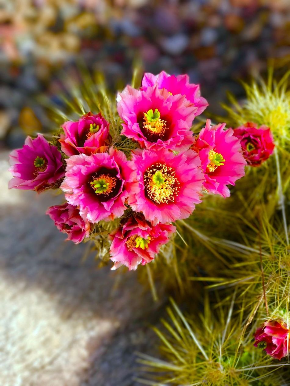 Pink Color Blooming EyeEmNewHere Cactus Flower Arizona Millennial Pink Check This Out