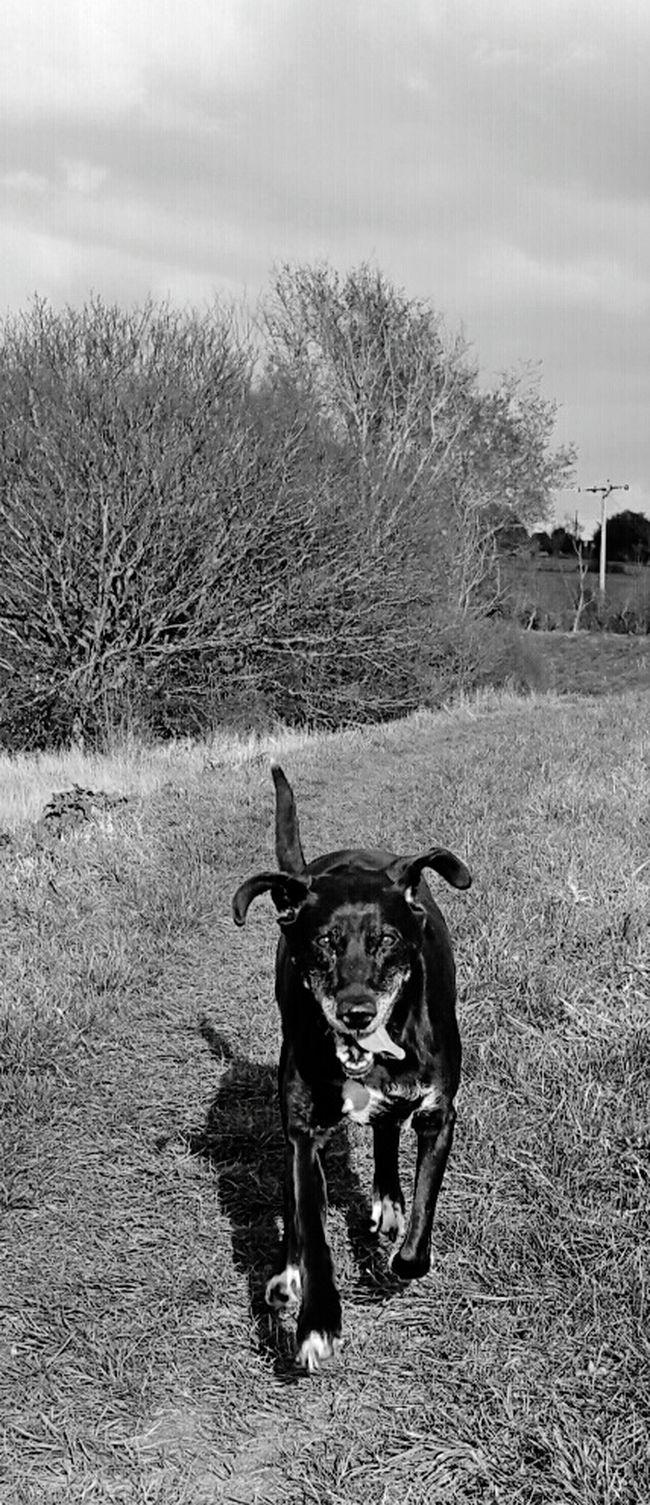 Country Walks Action Shot  Black & White Countryside Running Dog First Eyeem Photo
