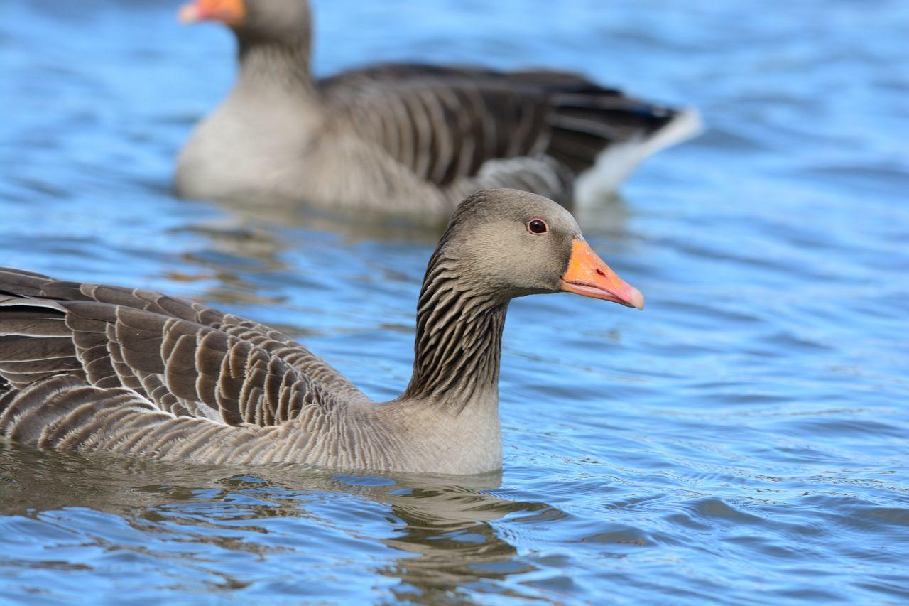 Beautiful stock photos of enten, Animal Themes, Animals In The Wild, Beak, Bird