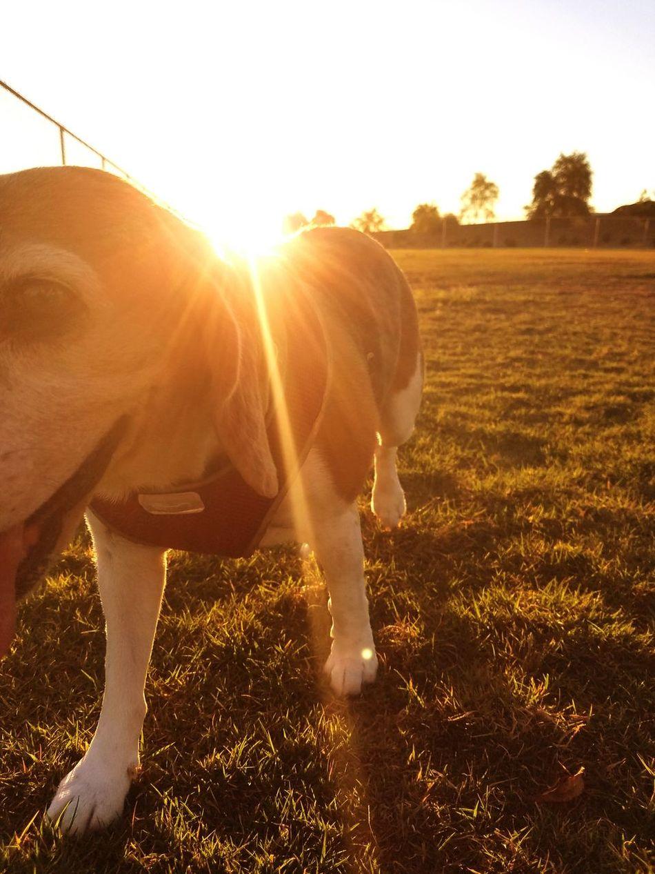 Horse Sunlight Domestic Animals Animal Themes Outdoors Mammal Sunbeam Ranch One Animal Hoofed Mammal Livestock Nature Day No People Sky Beaglelovers Beagle Love Beagle Dog❤ Dogslife Dog Love