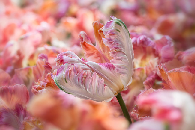 Blooming Field Of Tulips Flower Flowers Macro Photography Orange Parrot Tulip Peach Blossom Peach Parrot Tulip Red Relaxing Tulips