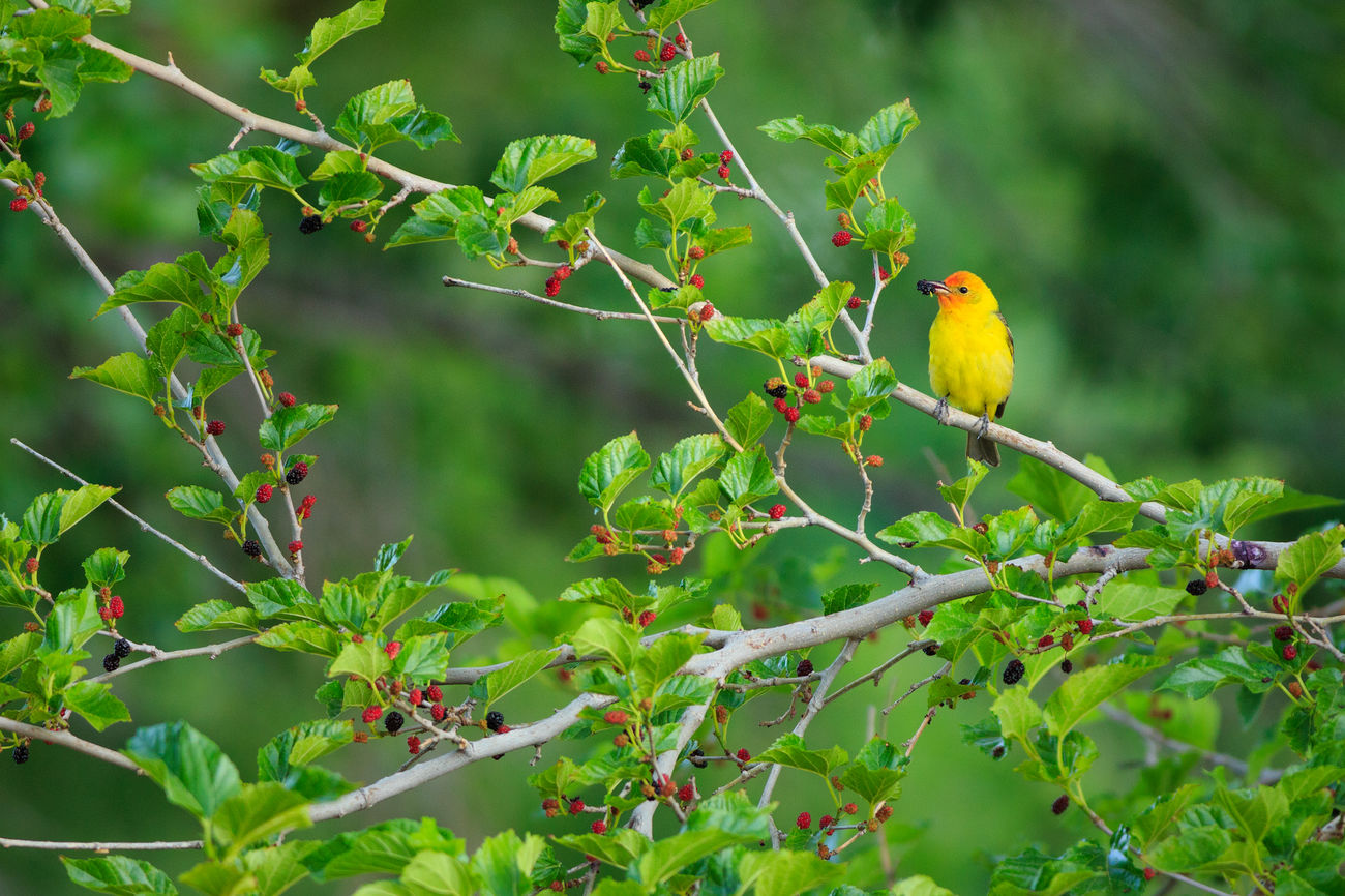 Feathered Beauty Western Tanager Mulberry Fruit Nature Photography Canon Nature Beautiful Nature Birds Birds Of EyeEm  Look Up Animals Animals In The Wild No People Feathered Friends Canon 5d Mark Lll Yellow Green Trees Yellow Bird Tanagers I Hope My Pictures Touch Your Hart